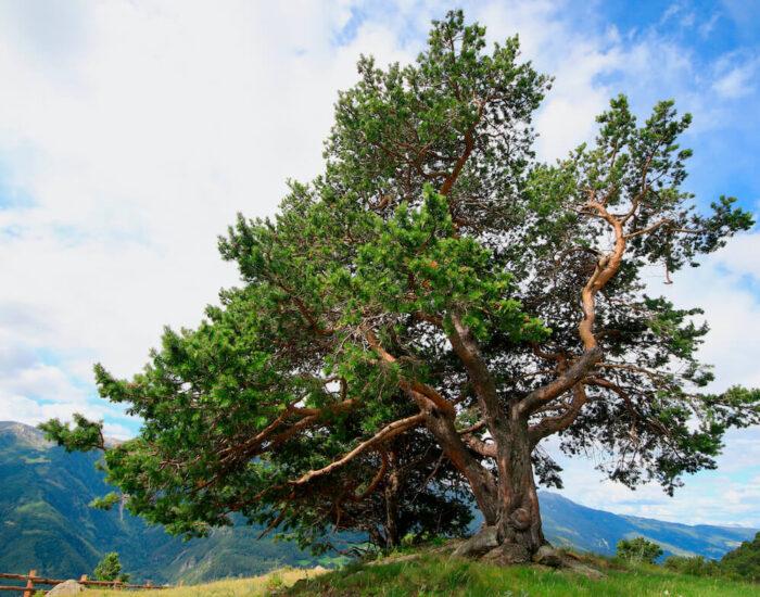 Zirbenholz - dudftvoll und nachhaltig